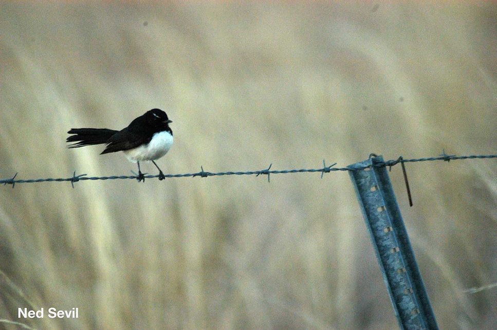 Willy-Wagtail-RW.jpg
