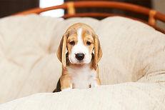 beagle-puppy-in-large-cushion-chair.jpg