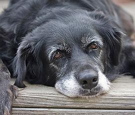 senior-dog-335mk072011.jpg