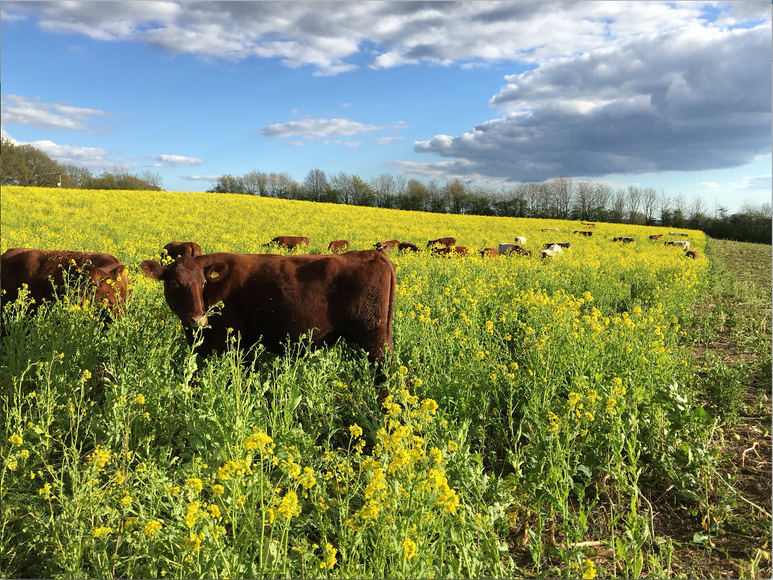 Cows grazing on cover crop.png