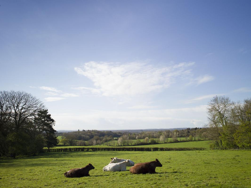 cows lying down.jpg