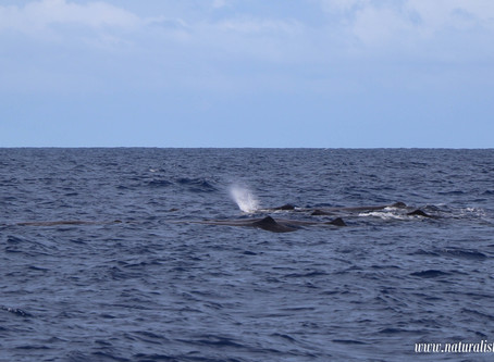 |15-09-2019| A group of Sperm whales shallow diving