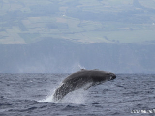 |26-07-2019| Sperm whales in the Azores