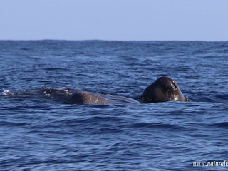 |25-07-2019| Toothed whales in the South of Pico island