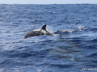 |22-07-2019| Sperm whales and 2 species of dolphins in the North of Faial island