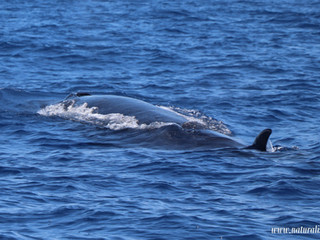 |28-06-2019 pm| A Sei whale is Better than a swimming with dolphins tour!