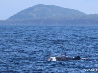 |20-07-2019 am| Sperm whales and dolphins in the Azores