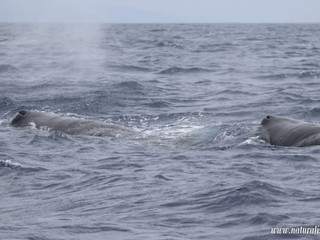 |27-07-2019| Sperm whales and dolphins around the islands of the triangle of the Azores