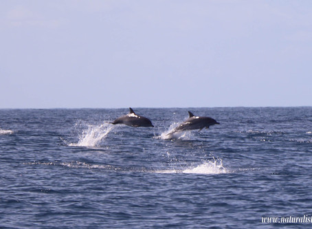 First record of Pan Atlantic Spotted Dolphins in the Azores 2019