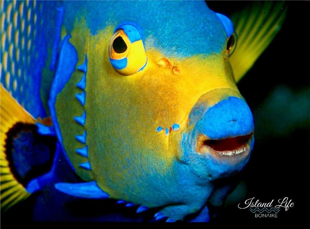 queen-angelfish-1
