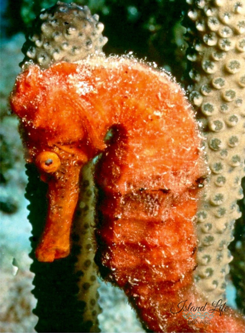 Fun Facts about the Seahorse.