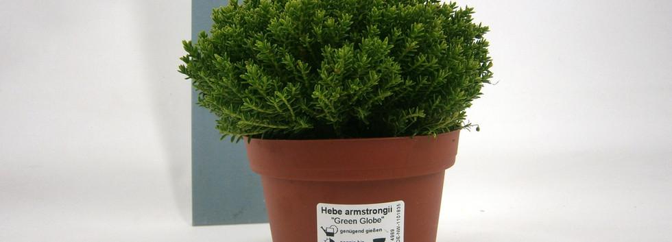 Hebe Green Globe 11 cm meetlat.jpg