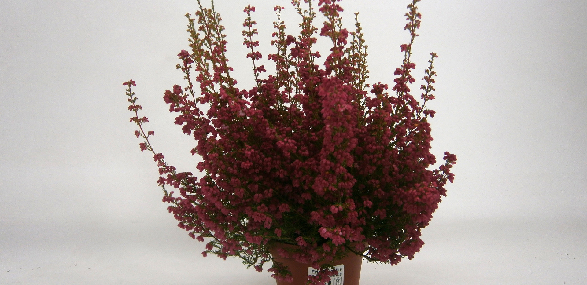 Erica gracilis Rot 11 cm.jpg