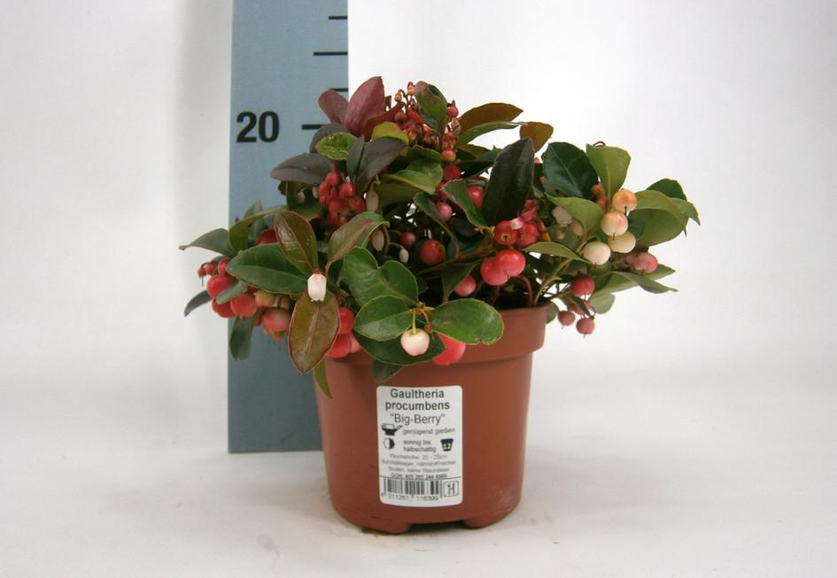 Gaultheria procumbens 12 cm meetlat.jpg
