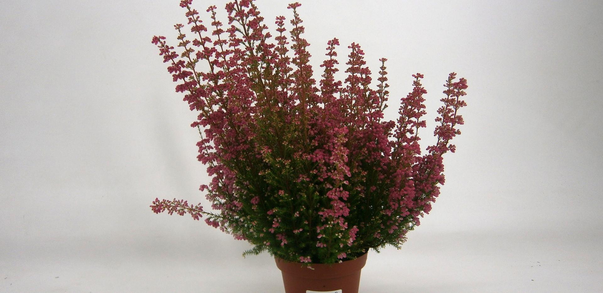 Erica gracilis Mr. L Ronello 11 cm.jpg