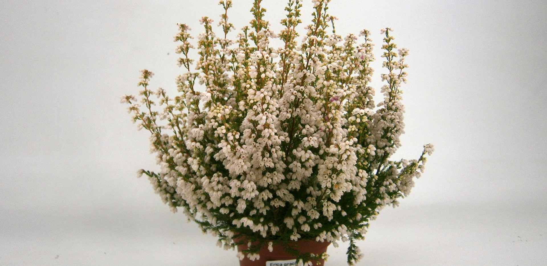 Erica gracilis Weiss 11 cm.jpg