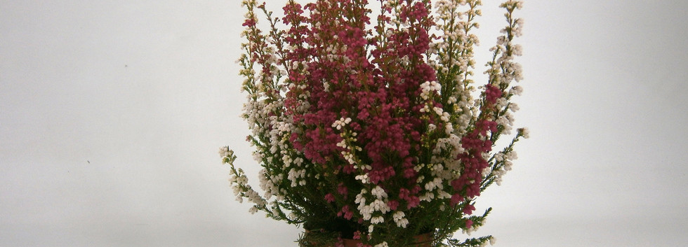 Erica gracilis Rot - Weiss 11 cm.jpg