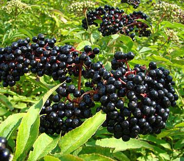 Elderberries-pic.jpg