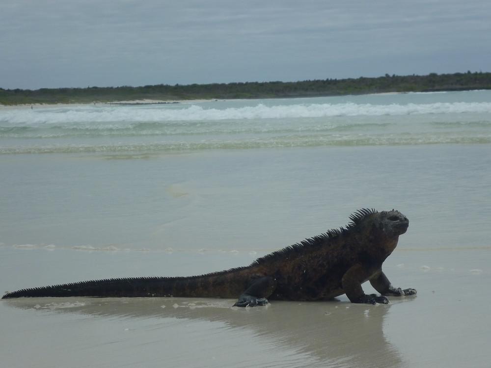 Tortuga_Bay_Galapagos_Iguana_on_the_beach_Island_of_Santa_Cruz_photo_by_Alvaro_S