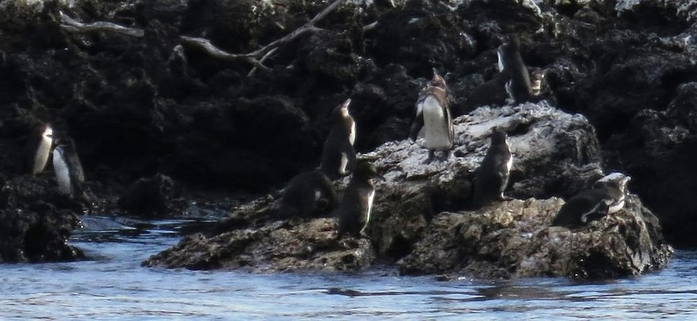 pinguirilli 4.jpg