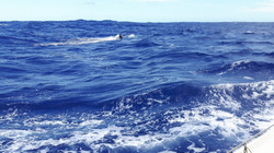 Balenottera minore ci fa visita