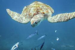 barb turtle
