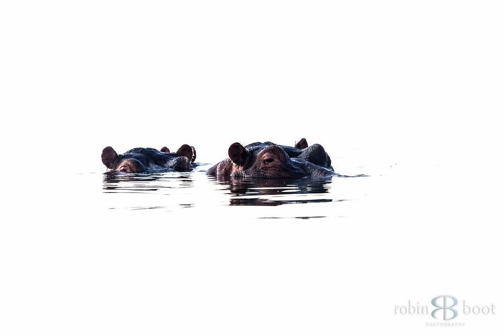 Peek-a-boo Hippos