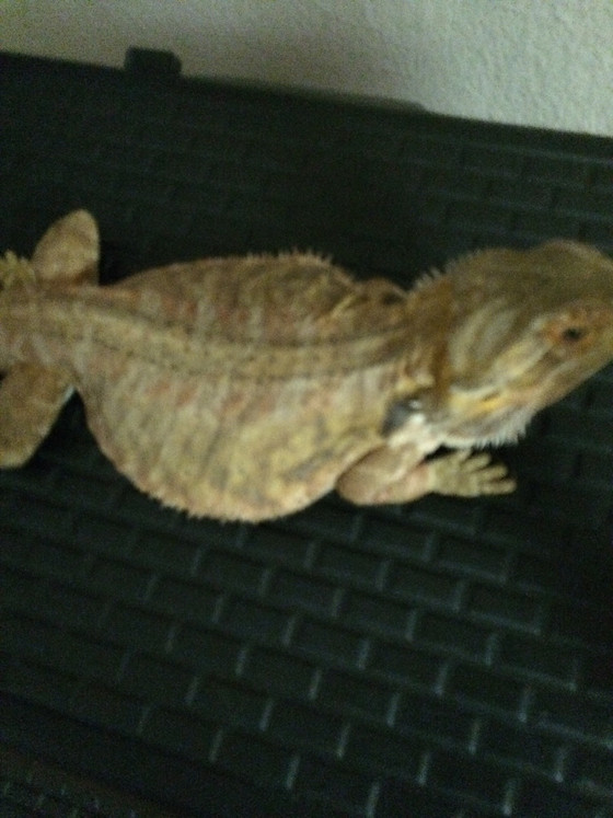 Contraband Enterprise, LLC Founder Ace of Many Faces Saves Life of Bearded Dragon Lizard