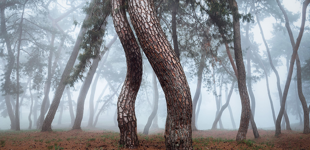 A misty Korean pine forest