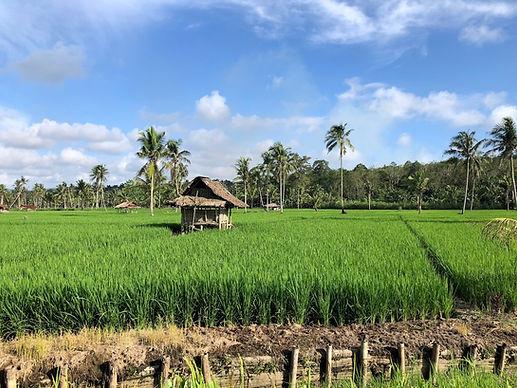 Rice field shacks roadside views.jpg