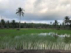 rice fields roadside.jpg