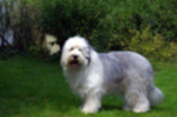 Bobtail, Züchter, Old English Sheepdog, Niedersachsen