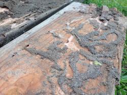 Subterreanean Termites