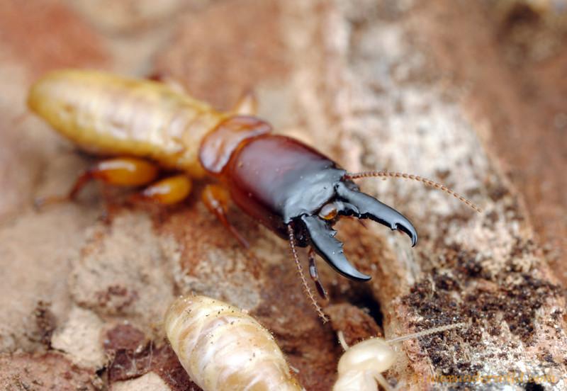 Subterrenean Termites