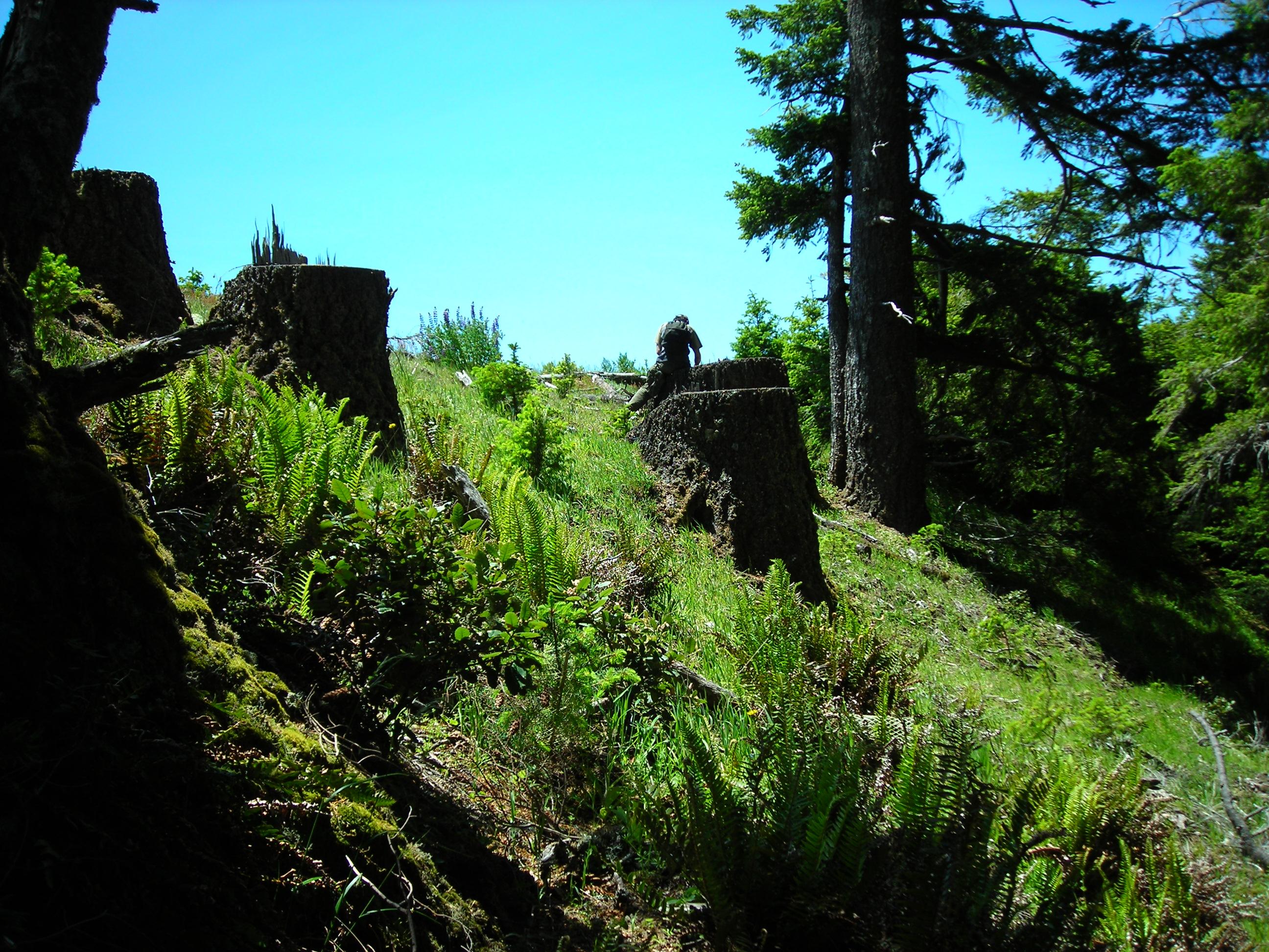 Doug Fir Tree Stumps
