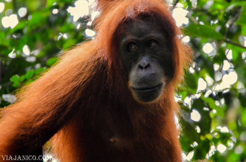 Indonesia: trekking por la selva con orangutanes