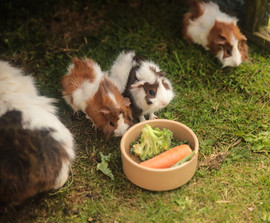 guinea-pig-hotel.jpg