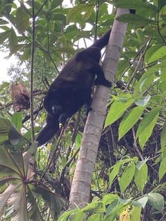 Congo Howler Monkey