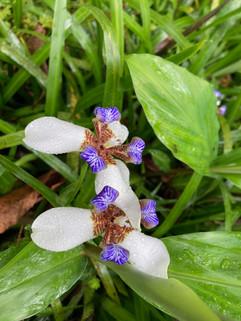 Purple & White Orchid