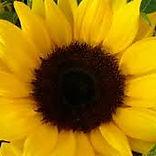 sončnica.jpg