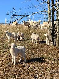 Organic Sheep Production