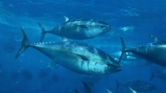Climate redistribution of tuna may mean a loss of $60 million for Pacific by 2050