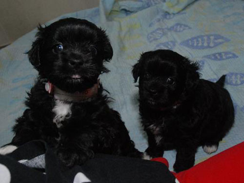 2013-USA-TOY-POODLE-MIXED-BREED