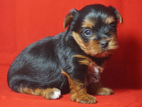 2015-USA-YORKSHIRE-TERRIER