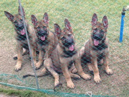 2012-KOREA-GERMAN-SHEPHERD
