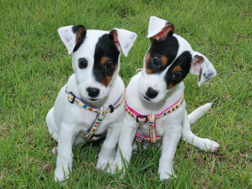 2013-USA-JACK-RUSSELL-TERRIER
