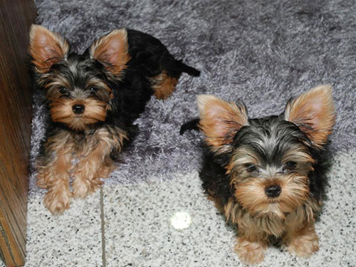2014-IRELAND-YORKSHIRE-TERRIER