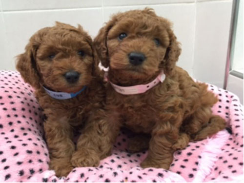 2015-KOREA-MINIATURE-POODLE