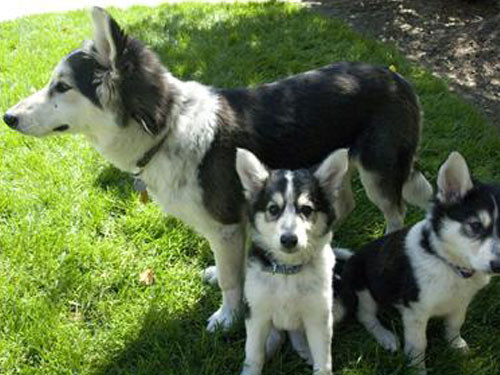 2007-USA-SIBERIAN-HUSKY+BORDER-COLLIE-MIXED-BREED