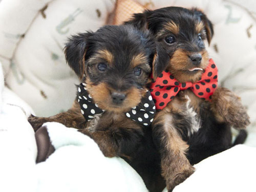 2013-USA-YORKSHIRE-TERRIER